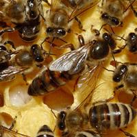 funciones de la abeja reina