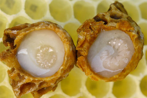 Larvas en Jalea real