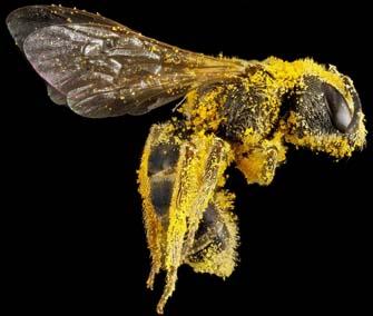 como usar polen de abeja